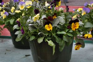 Pansy Hanging Pots